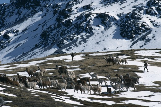 Peru, Cusco, Cordillera Vilcanota, Taking Alpaca Out To Graze On Snow Covered Pasture Near Sibinacocha. : Stock Photo