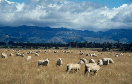 Stock Photo: 1850-12238 New Zealand, North Island, Farming, Landscape And Grazing Sheep.