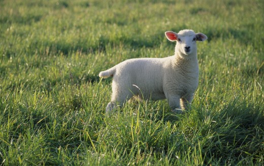 Agriculture, Farming, Sheep, Lamb Standing In Green Field : Stock Photo