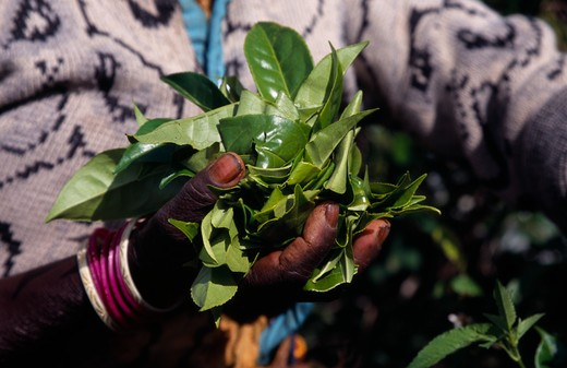 Sri Lanka, Agriculture, Tea, Close Up Of Female Tea Pickers Hands Holding A Handful Of Tea Leaves On Plantation Near Haputale. : Stock Photo