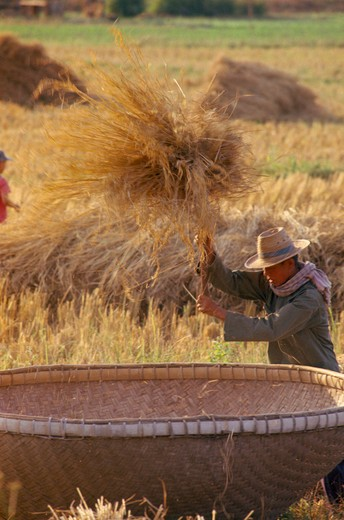 Stock Photo: 1850-12940 Thailand, Chiang Mai, Man Threshing Harvested Rice In A Large Bamboo Basket