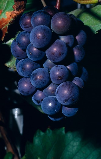 France, Agriculture, Wine, 'Bunch Of Ripe Black Grapes On Vine, Note Yeast ?Bloom?.' : Stock Photo