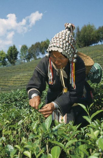 Thailand, North, Mae Salong, Akha Women Picking Tea On Plantation Near Chiang Rai. : Stock Photo