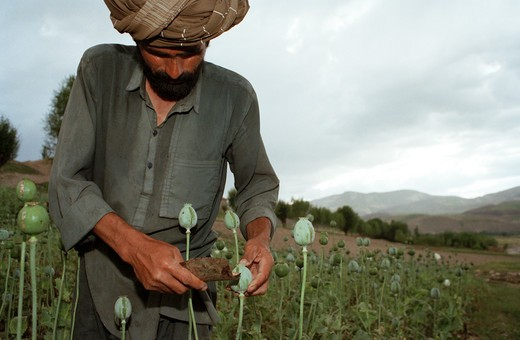 Stock Photo: 1850-13738 Afghanistan, Badkshan Province, Opium Poppy Harvest With Two Muslim Men Working In Field.