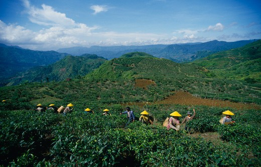 Stock Photo: 1850-13766 Indonesia, Java, Cukul Tea Estate. Pickers In Line Amongst Crops Wearing Yellow Conical Hats.