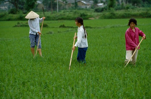 Stock Photo: 1850-13905 China, Agriculture, Rice Cultivation.
