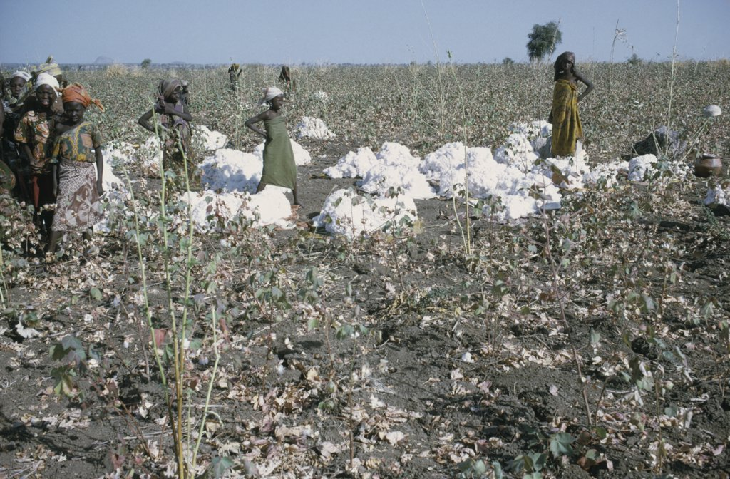 Nigeria, Industry, Women And Young Girls Harvesting Cotton. : Stock Photo