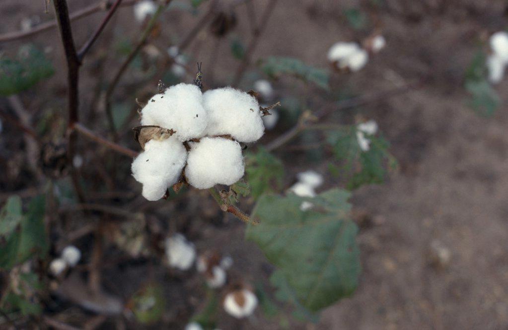 Nigeria, Ife, Cotton Bols On Plant. : Stock Photo