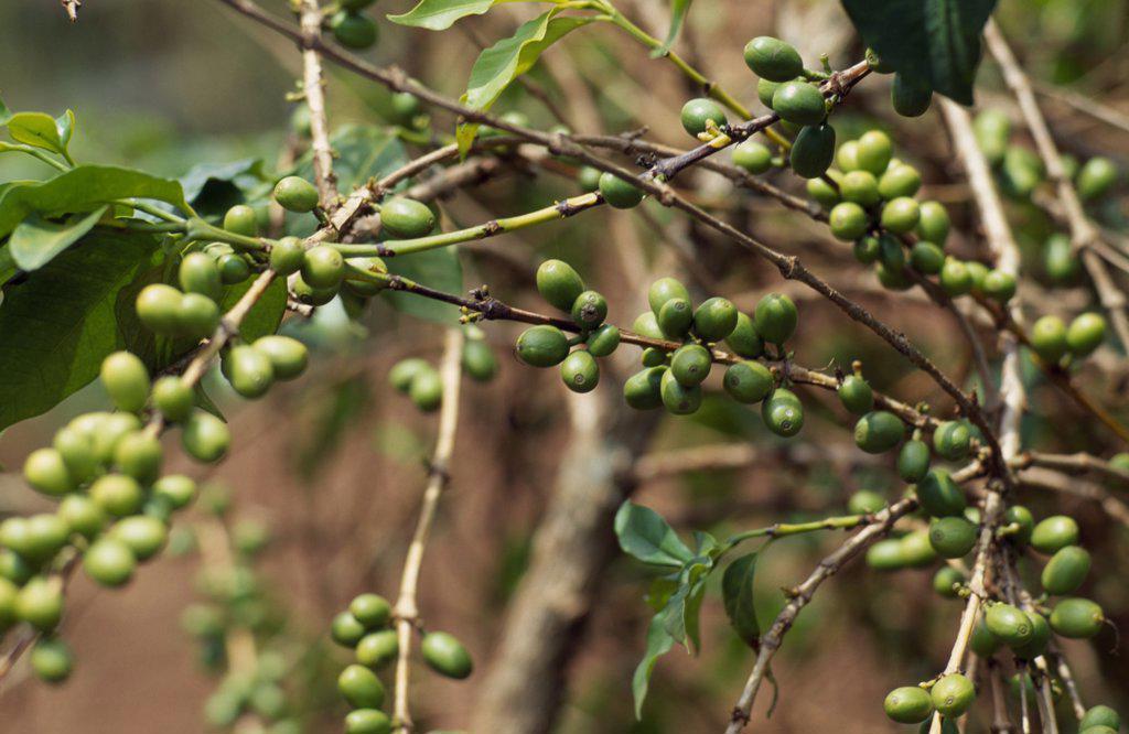Burundi, Kirundo Province, Coffee Growing Near The Border With Rwanda.  Principal Cash Crop Of Burundi. : Stock Photo