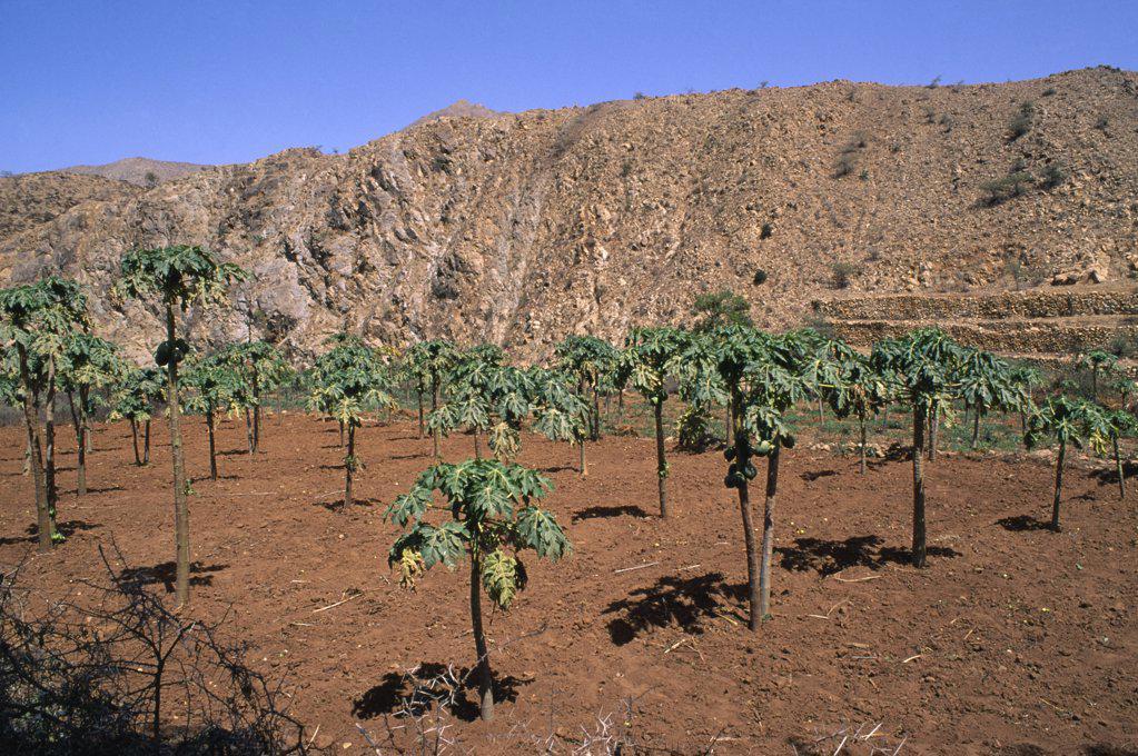 Stock Photo: 1850-15558 Eritrea, Hamasien Province, Farming, Eritrean People?S Liberation Front Run Papaya Farm