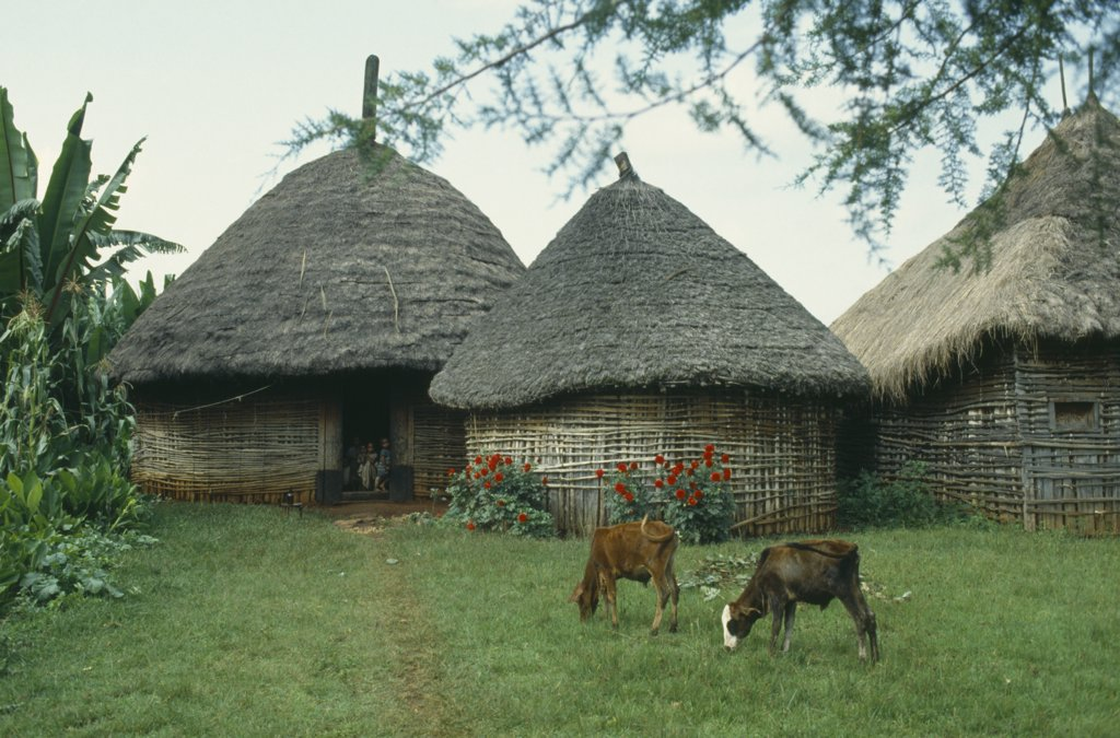 Ethiopia, Attat, Calves Grazing Outside Thatched Huts Of Village With Children In Doorway. : Stock Photo