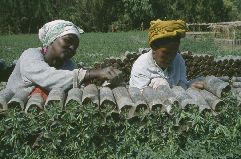 Stock Photo: 1850-15571 Ethiopia, Farming, Women Working In Plant Nursery.