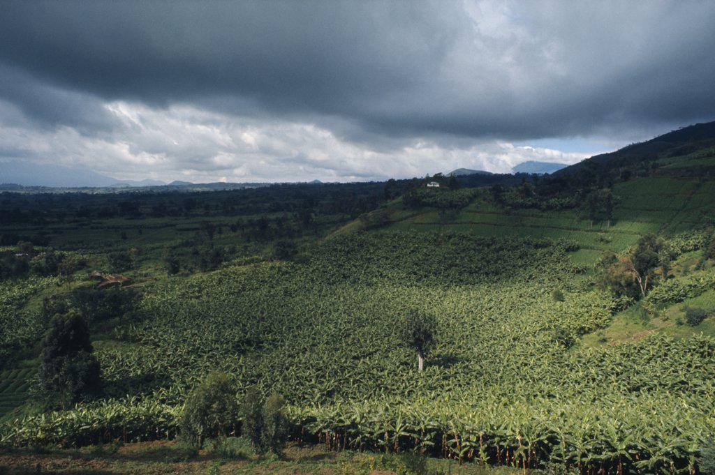 Stock Photo: 1850-16311 Rwanda, Landscape, Banana Plantation Below Stormy Sky.