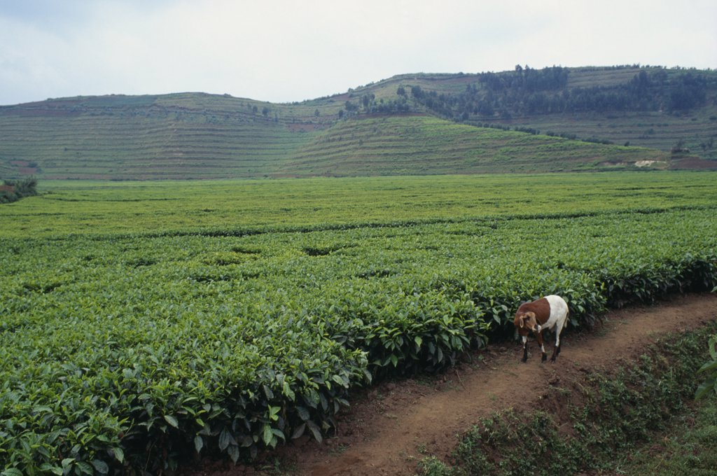 Stock Photo: 1850-16313 Rwanda, North, Agriculture, Tea Plantation Near Ruhengeri With Goat In Foreground.