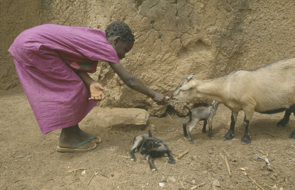 Ghana, Agriculture, Girl Bending Over To Feed Goat With Kids. : Stock Photo