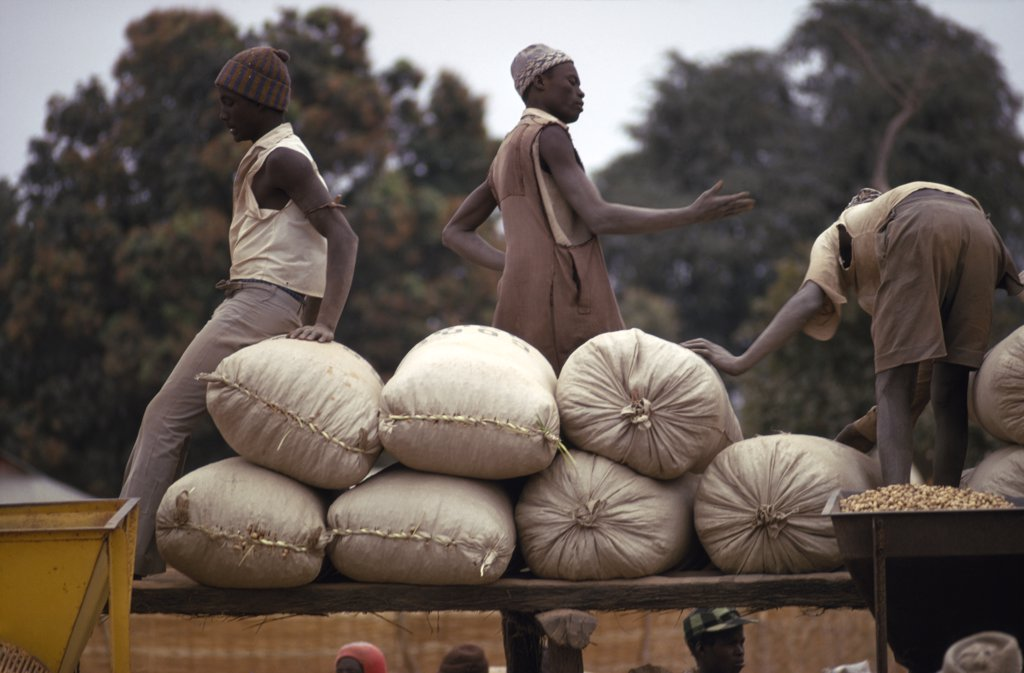 Gambia, Markets,  Farmers With Sacks Of Groundnuts At A Buying Station : Stock Photo