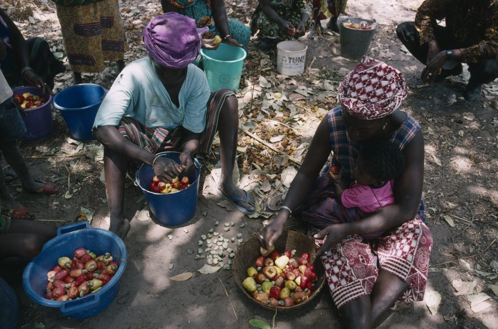 Stock Photo: 1850-16515 Gambia, Agriculture, Women Seperating The Cashew Nut From The Fruit