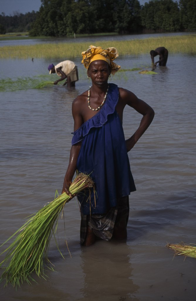 Stock Photo: 1850-16517 Gambia, Agriculture, Rice, Woman Replanting Rice