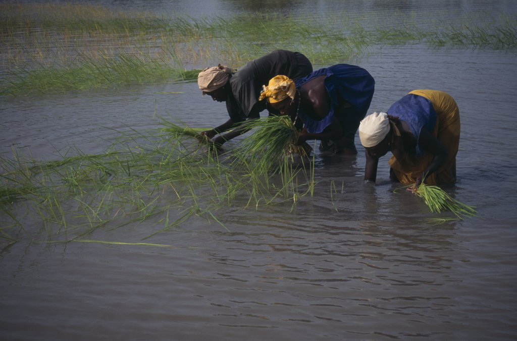Gambia, Agriculture, Rice, Women Replanting Rice : Stock Photo