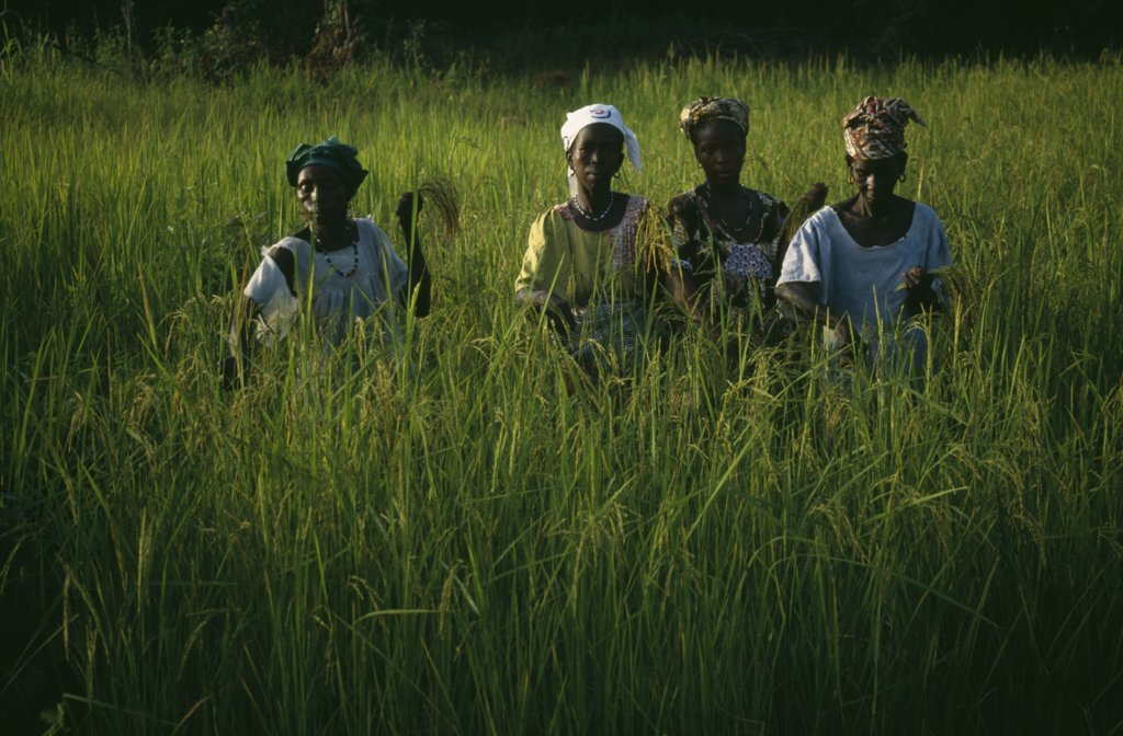 Gambia, Agriculture, Rice, Women Working In Rice Paddy : Stock Photo