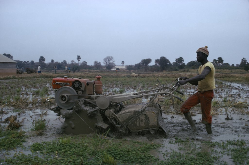Gambia, Agriculture, Man Working With Rotavator. Sapu Rice Scheme. : Stock Photo