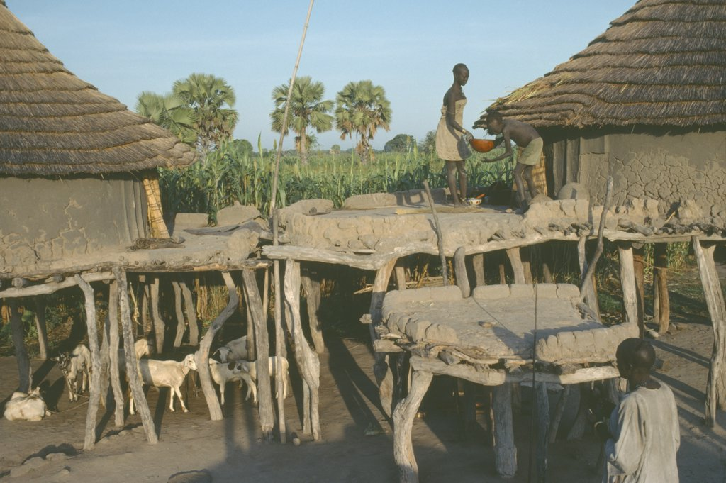 Stock Photo: 1850-16744 Sudan, People, Two Dinka Dwellings Raised On Tree Trunks To Survive Heavy Rain During The Wet Season With Livestock Tethered Below.