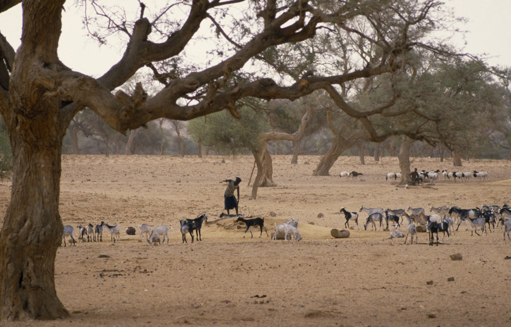 Stock Photo: 1850-17145 Mali, Bandiagara Escarpment, Ireli Village, Dogon Woman At Well With Goat Herd On Scarce Grazing Beneath Twisted And Mishapen Trees.