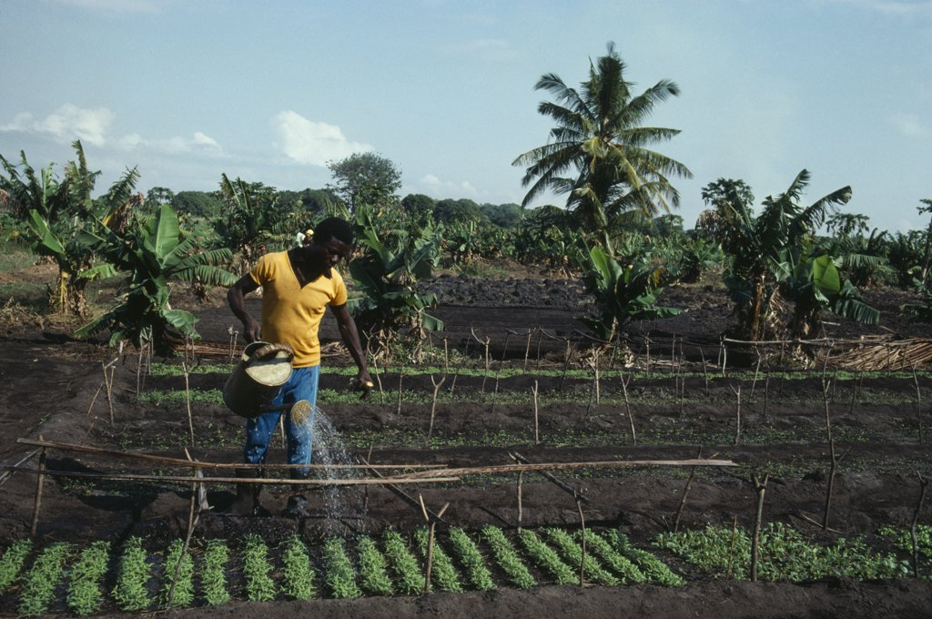 Stock Photo: 1850-17318 Mozambique, Salela Swamp, Unfao Agricultural Project To Replant Swamp.  Watering Cabbage Seedlings.