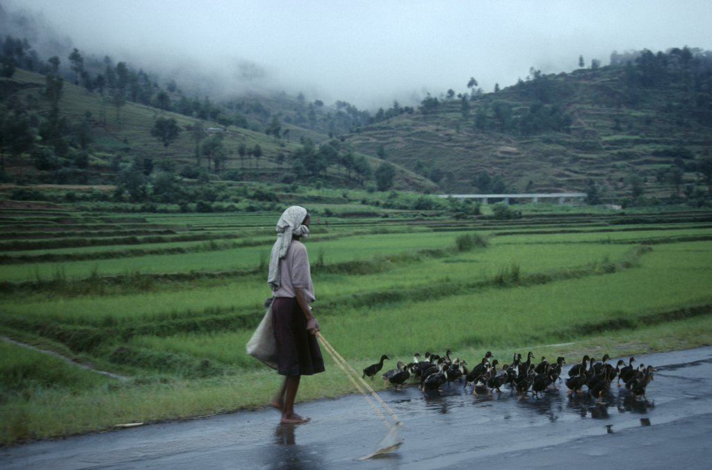 Stock Photo: 1850-17350 Madagascar, Farming, Woman Taking Ducks To Market Along Road Beside Terraced Agricultural Land.