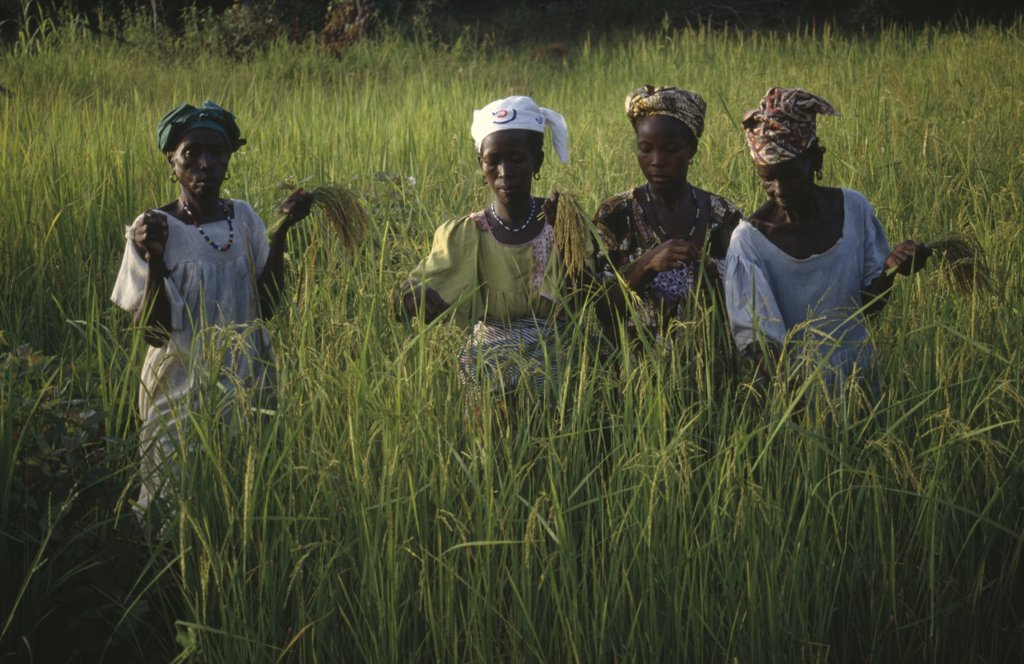 Gambia, Agriculture, Women Working In Rice Paddy Fields. : Stock Photo