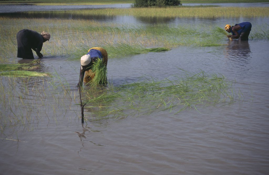 Gambia, Agriculture, Women Replanting Rice In Paddy Fields. : Stock Photo