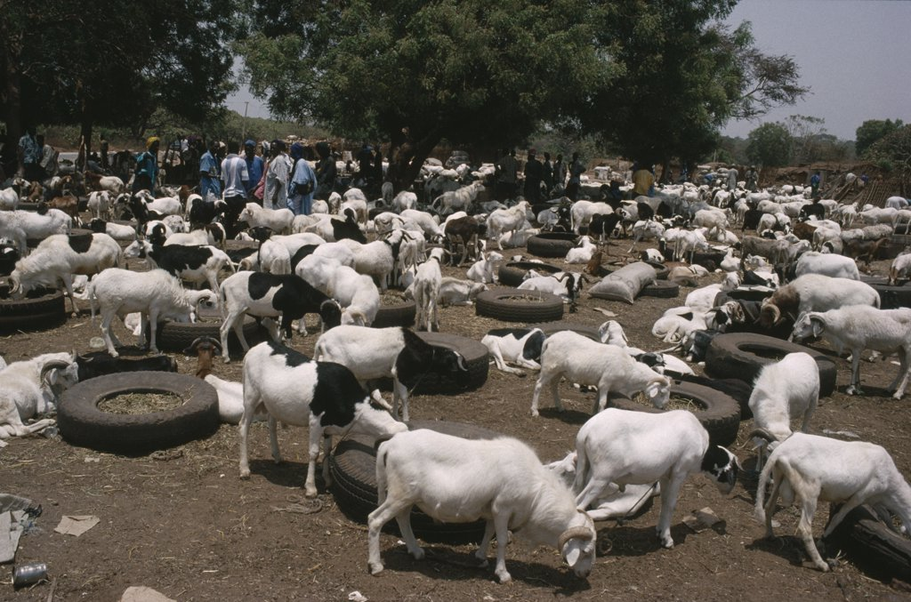 Gambia, Agriculture, Livestock Market With Goats And Cattle Tethered To Old Car Tyres Containing Fodder. : Stock Photo