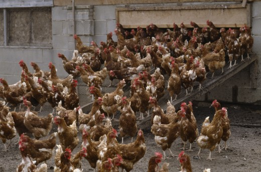 Stock Photo: 1850-1760 Agriculture, Livestock, Poultry, Free Range Hens Leaving Their Coop.