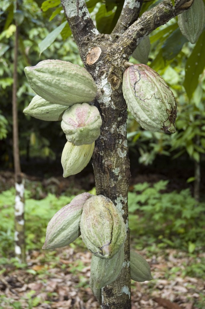 Venezuela, Sucre State, Cacao Pods Growing On A Cacao Tree : Stock Photo