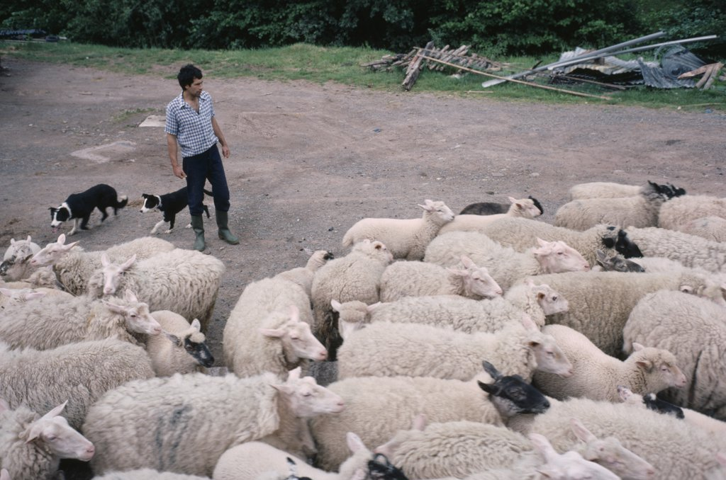 England, Herefordshire, Agriculture, Farmer Moving Sheep With Pair Of Border Collies. : Stock Photo