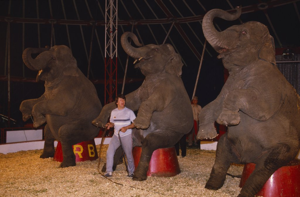 Stock Photo: 1850-18050 England, Animals, Elephants, Elephant Trainer Inside Circus Tent With Three Performing Elephants.