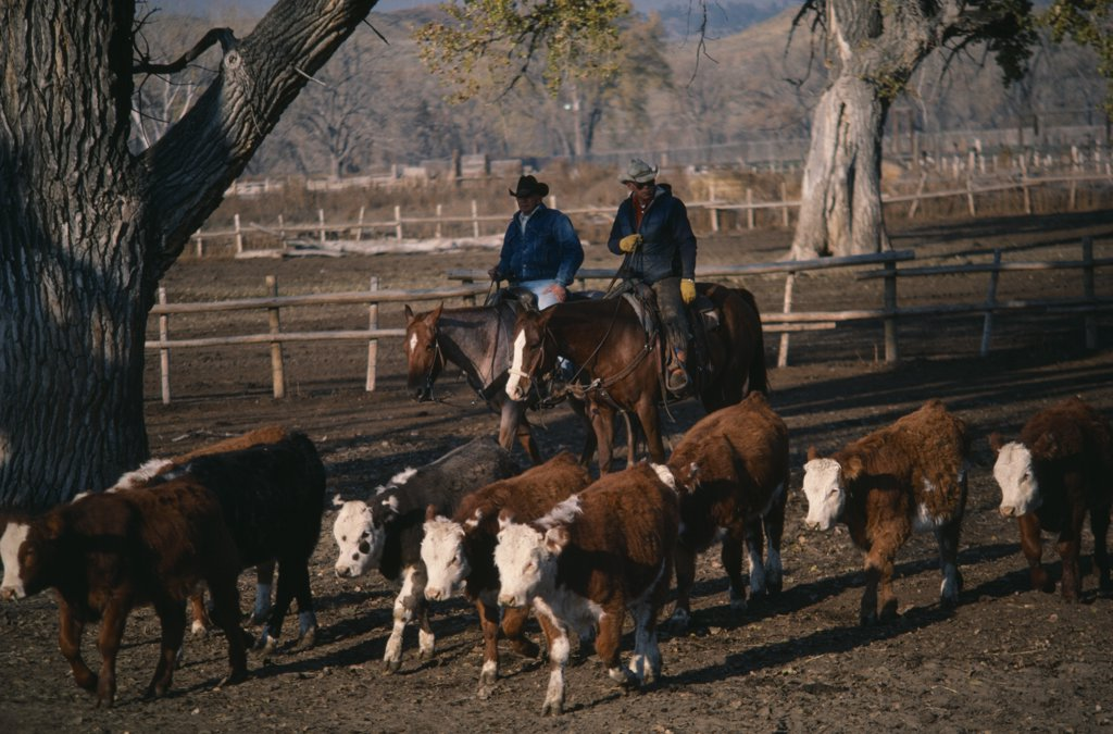 Usa, Wyoming, Agriculture, Two Cowboys On Horses Herding Young Cattle Steers On Ranch. : Stock Photo