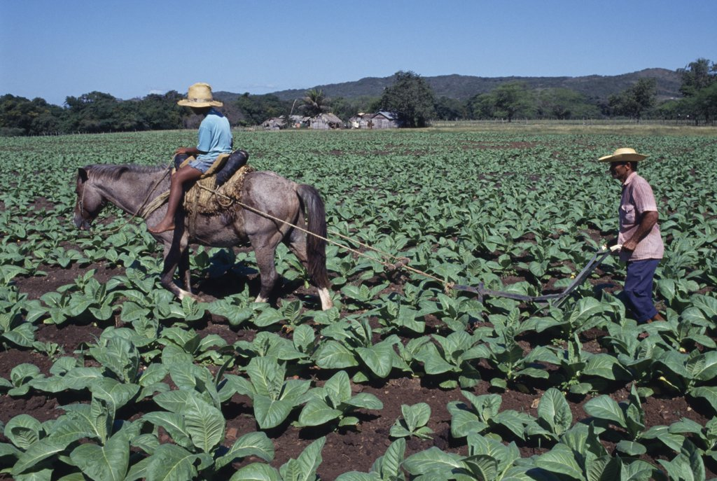 Dominican Republic, Agriculture, Man Using Horse Ridden By Child To Plough Furrow Through Crop On Privately Run Tobacco Plantation Near Loma De Cabrero Producing Tobacco For The Leon Jimenez Co. : Stock Photo
