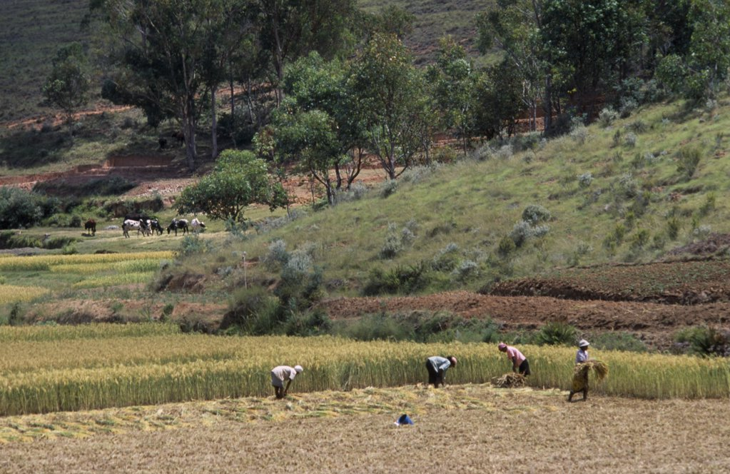 Madagascar, Agriculture, Road To Antsirabe. Workers Havesting Rice With Cattle Grazing Near Hillside Behind : Stock Photo