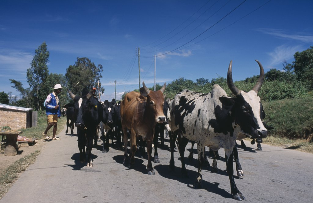 Madagascar, Agriculture, Road To Ambalavao. Herdsman Driving Zebu Cattle Along Road : Stock Photo