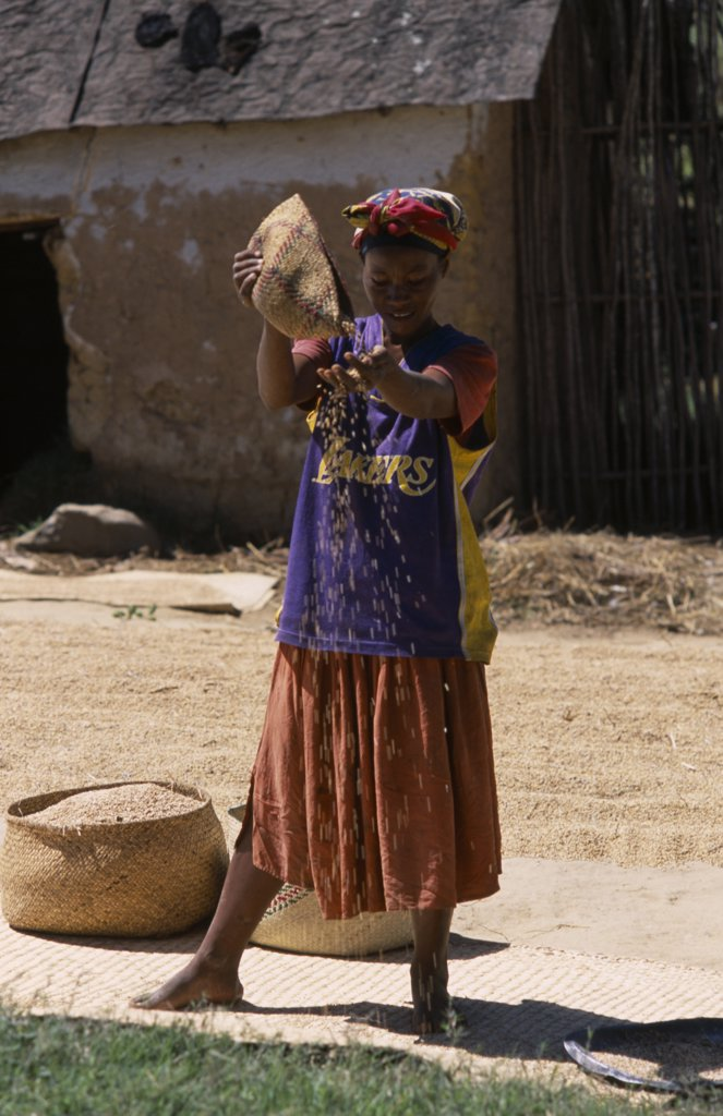 Stock Photo: 1850-18670 Madagascar, Agriculture, Road To Ranomanfana. Woman Wearing A Los Angeles Lakers Basketball Team Shirt Sprinkling Corn