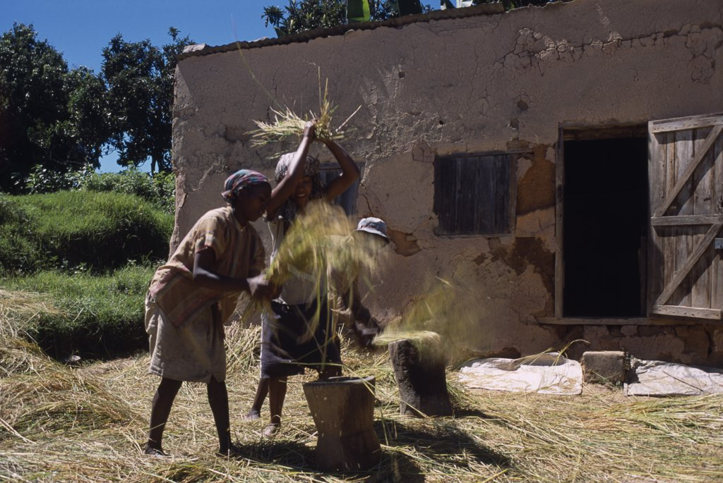 Stock Photo: 1850-18674 Madagascar, Agriculture, Road To Ranomanfana. Village Women Thrashing Wheat Outside Building