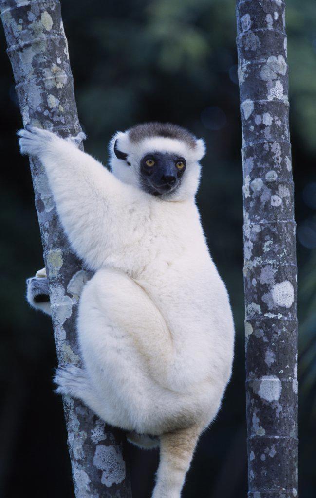 Madagascar, Fort Dauphin, Nahampoana Nature Reserve. Sifaka Lemur Holding On To Tree Stem : Stock Photo