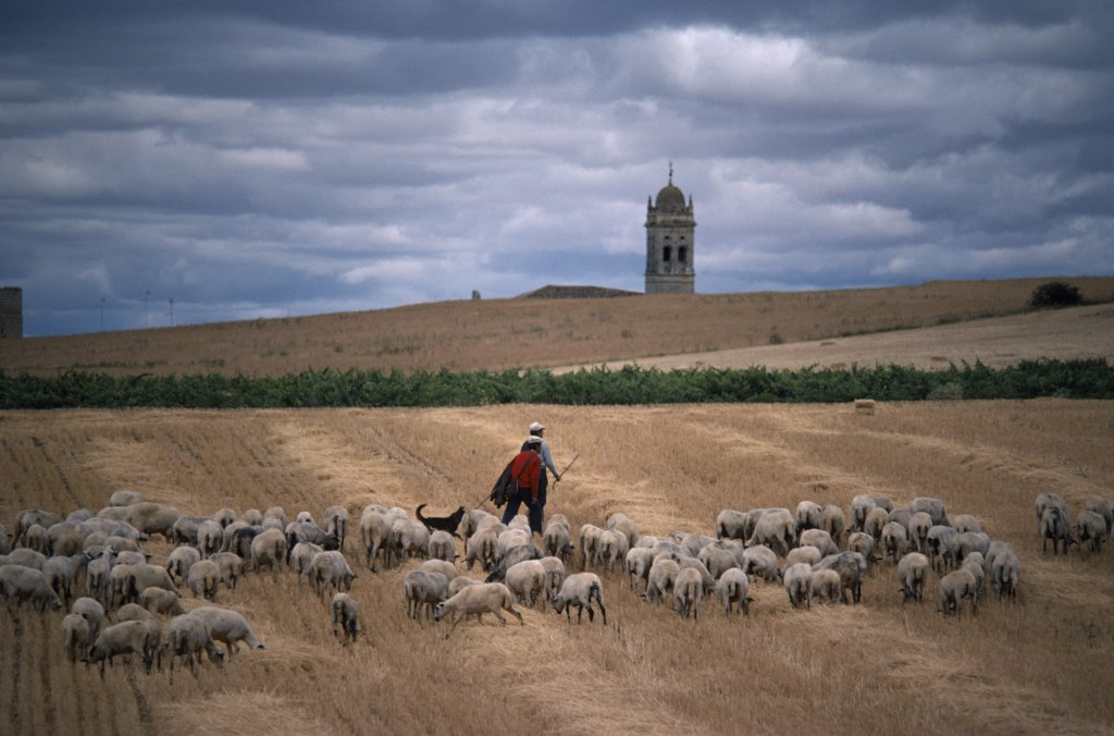 Stock Photo: 1850-18997 Spain, Agriculture, Shepherds With Flock On Stubble Field With Church Bell Tower In Distance Behind.