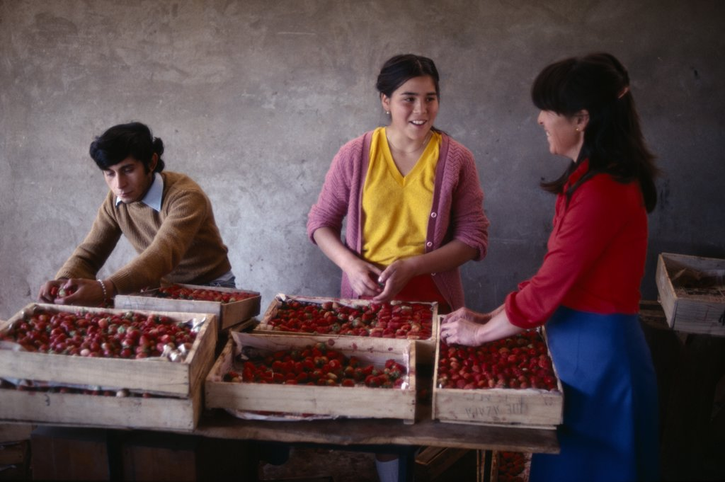 Stock Photo: 1850-19004 Chile, Agriculture, Packing Fruit For Export On Strawberry Farm.