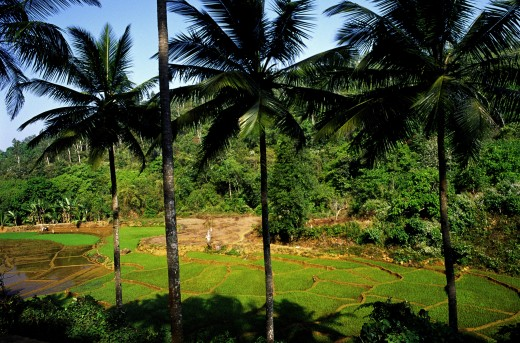 India, Goa, Ponda, 'Paddy Fields In Ponda Region, South Goa. Scattered Among The Lush Valleys, Forests And Paddy Fields Is The Region Of Ponda. There Are A Dozen Or So Of Hindu Temples Founded During The 17Th And 18Th Century' : Stock Photo
