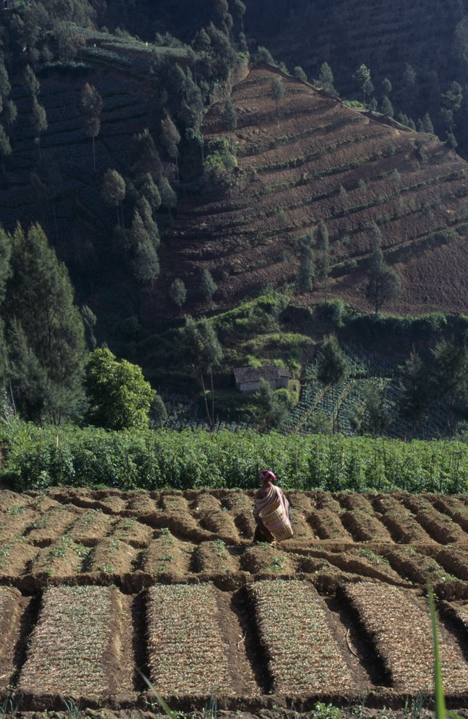 Indonesia, Java, Mt Bromo, Woman Amongst Crops In Terraced Foothills. : Stock Photo