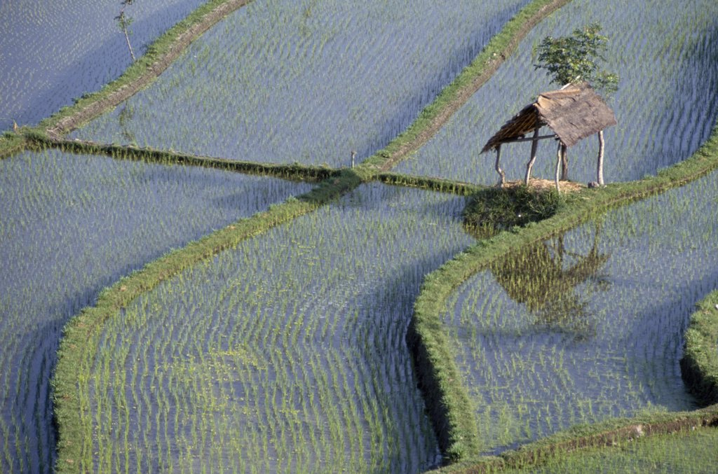 Indonesia, Bali, Farming, Rice Paddy Fields. : Stock Photo
