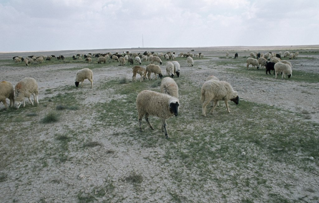 Qatar, Agriculture, Sheep Farming On The Edge Of The Desert : Stock Photo