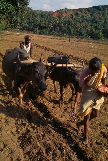 India, Goa, Farming, Woman Sowing Seeds And Man With Water Buffalo Drawn Plough Follows Turning The Soil Over The Seeds. : Stock Photo